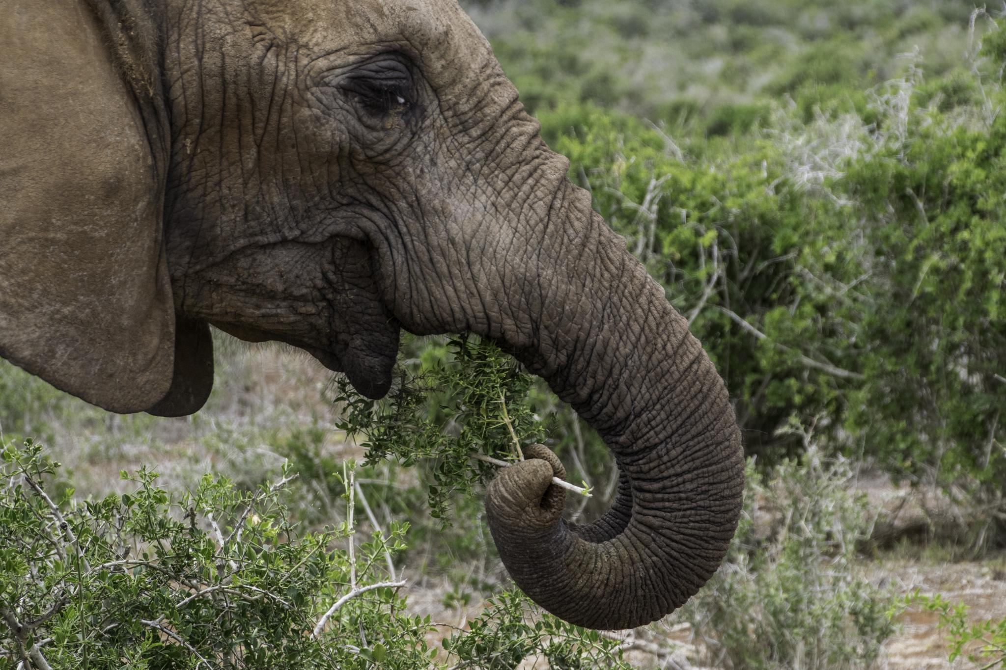 Elefanten essen den ganzen Tag