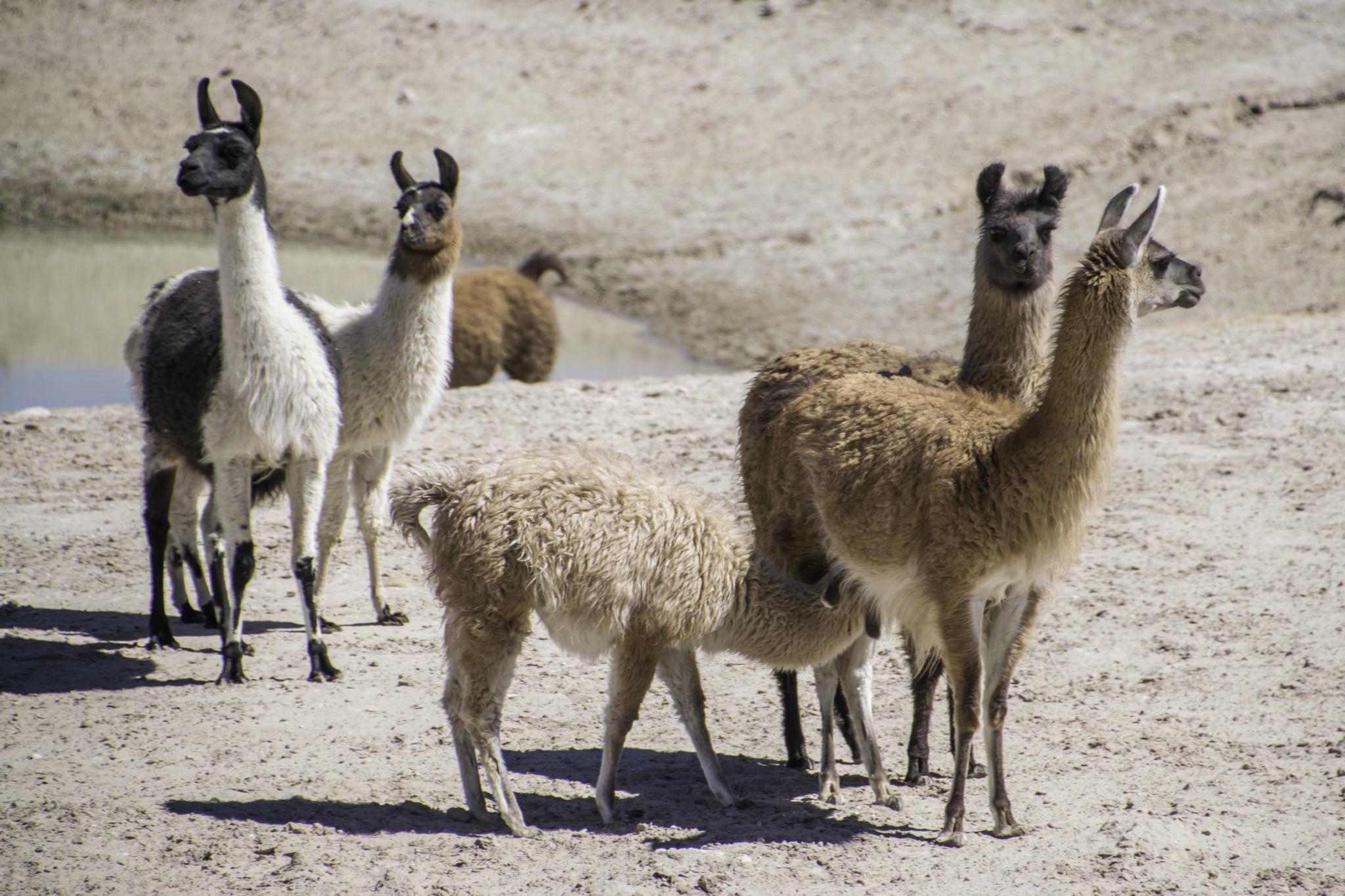 ...und dann auch mit den Lamas (erkennbar an ihren Bananen-Ohren - Alpakas haben Teddy-Ohren)