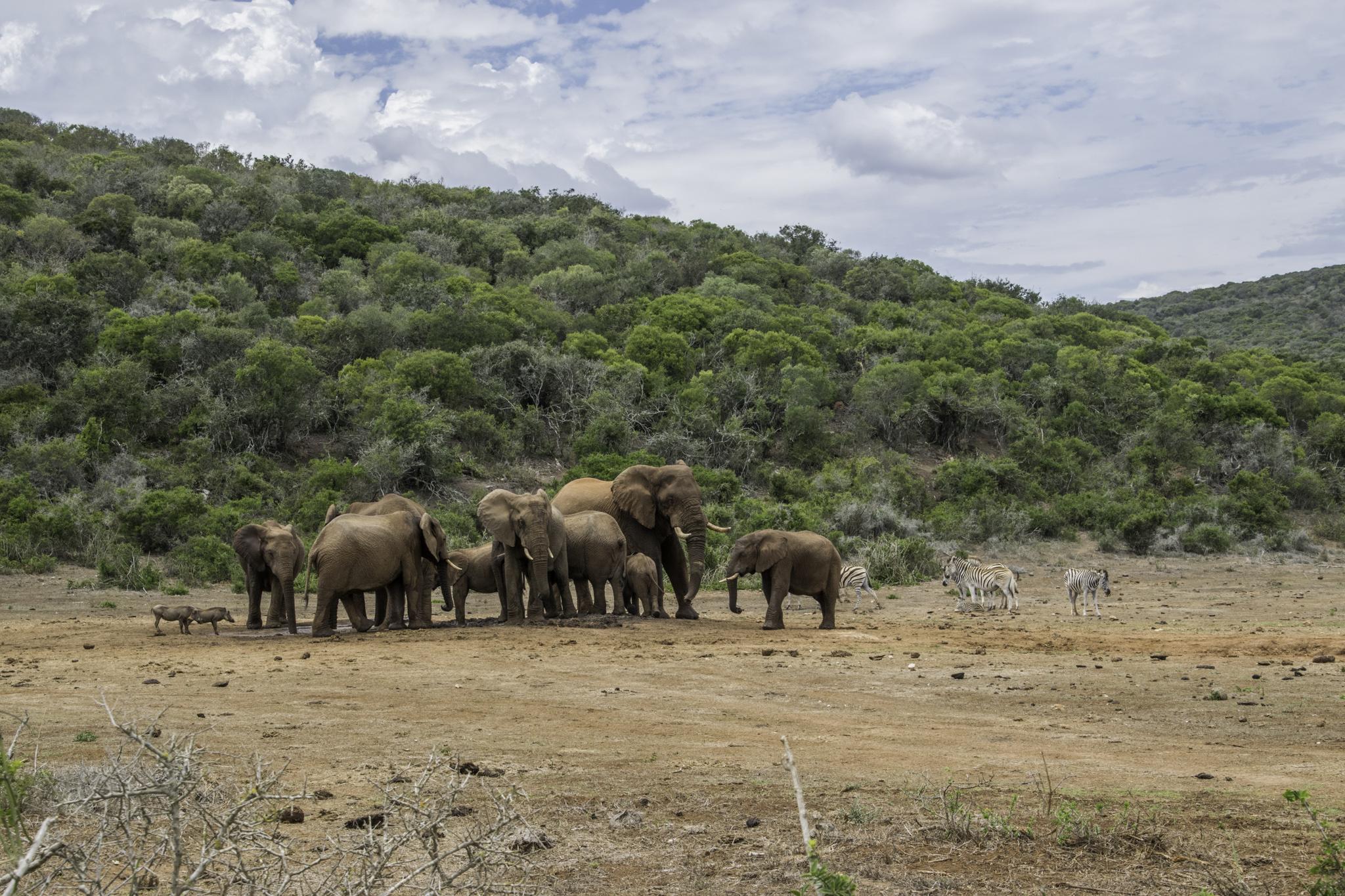 Die Elefanten beherrschen das Wasserloch