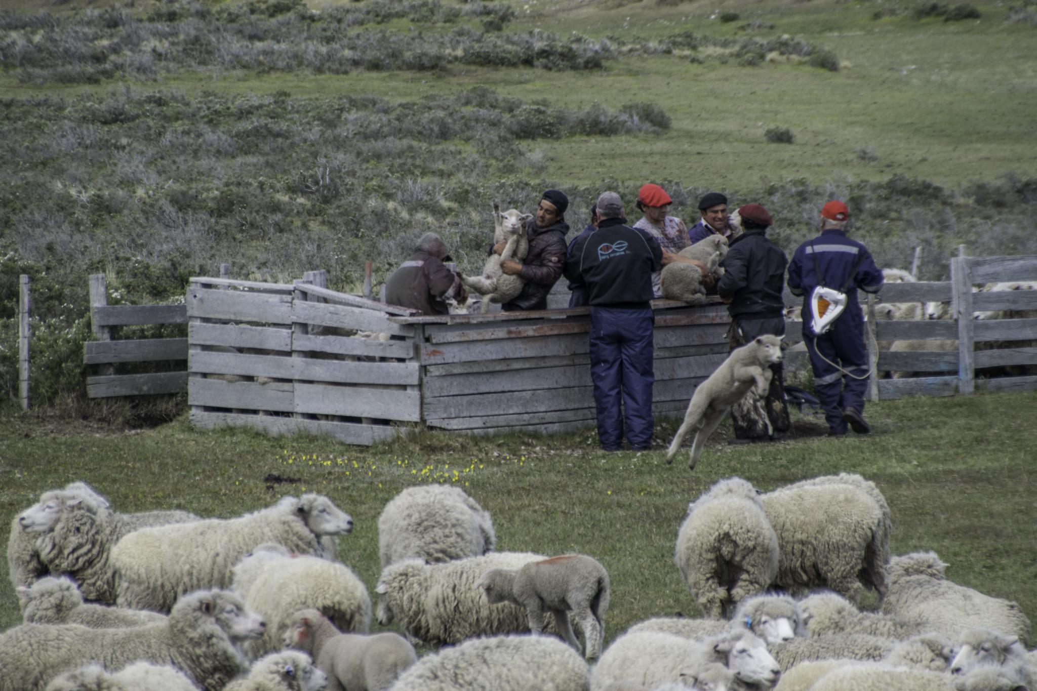 Markierung der Schafherde durch die Gauchos