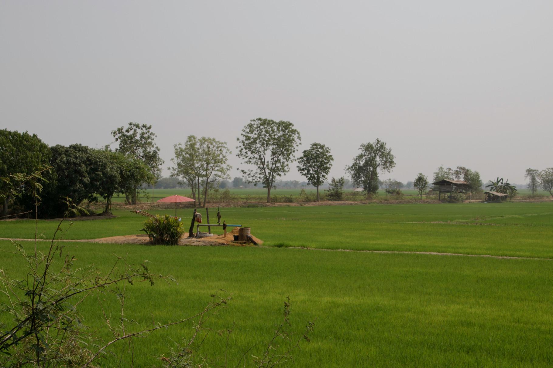 Saftig grüne Reisfelder