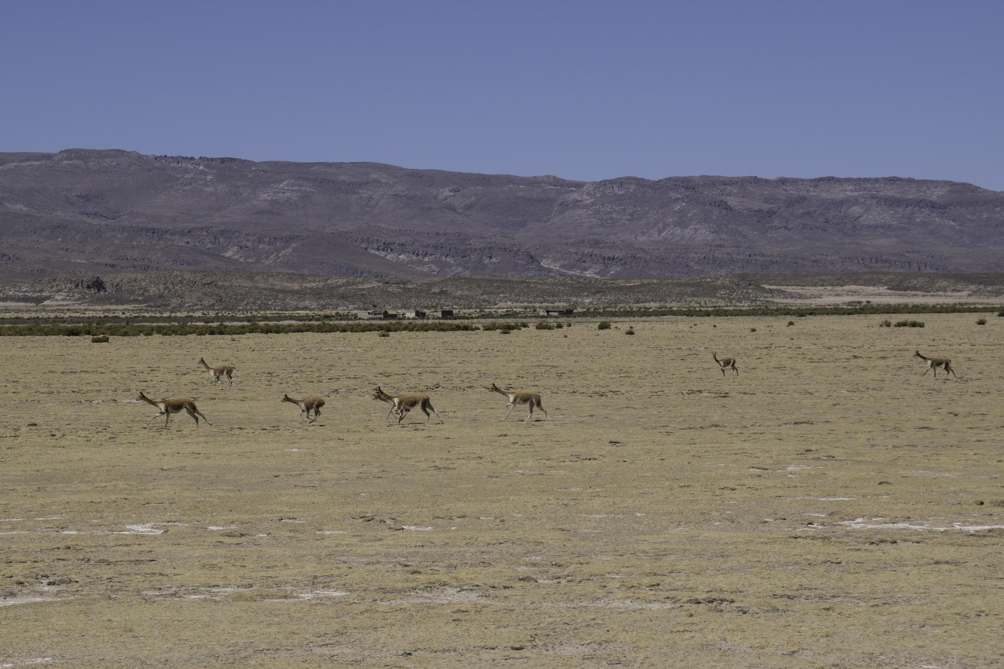 Wiedersehen mit den Vicuñas...