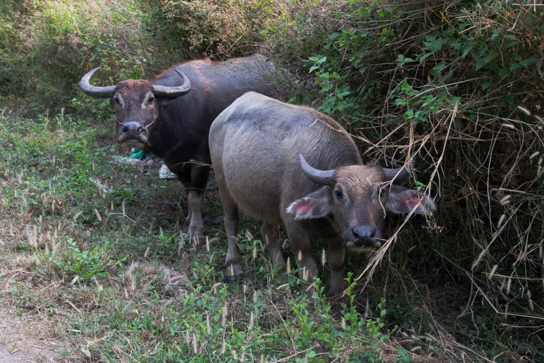Wasserbüffel am Strassenrand