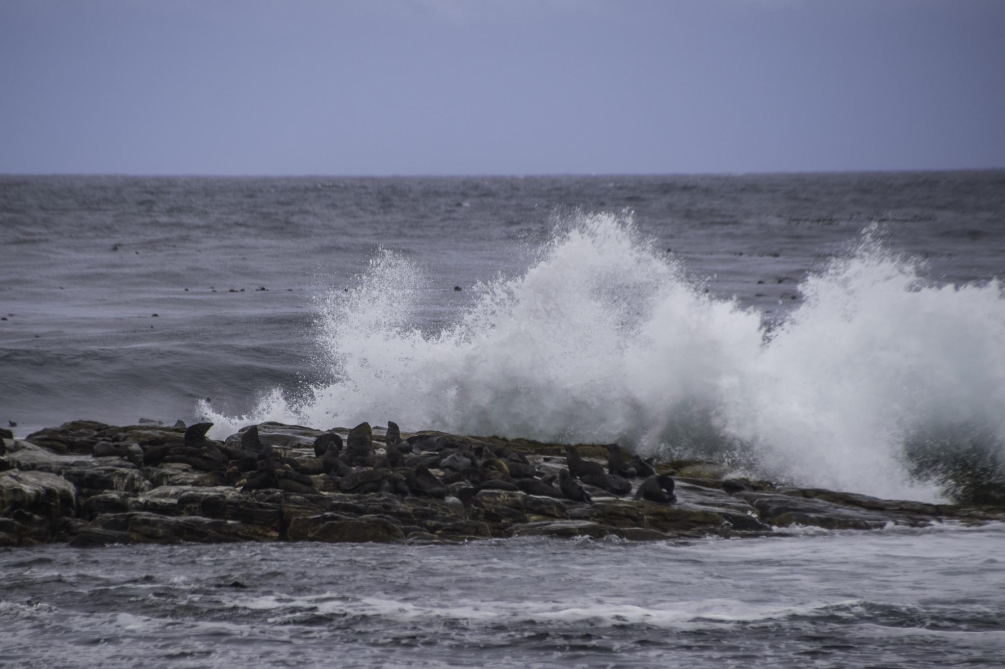 Robben am Kap der guten Hoffnung