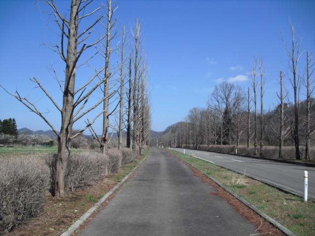 丸坊主のポプラ並木