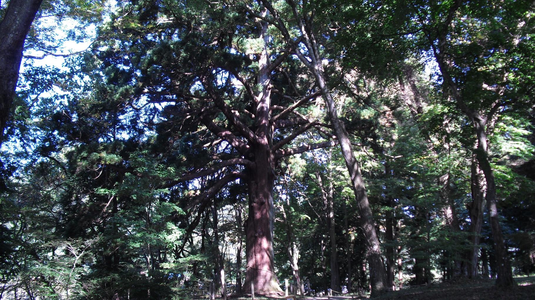 従二位の杉