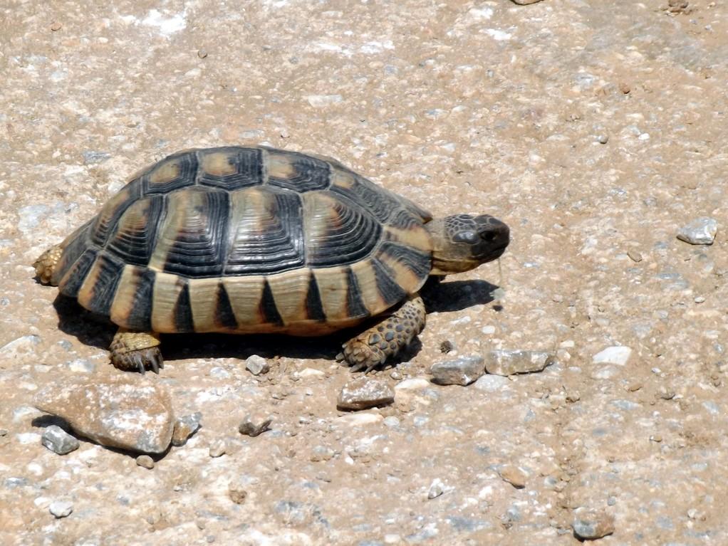 les tortues ...