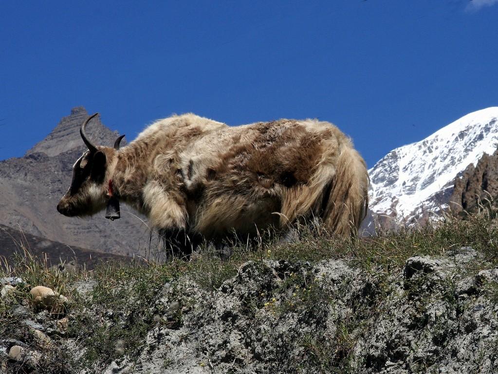 les premier yak
