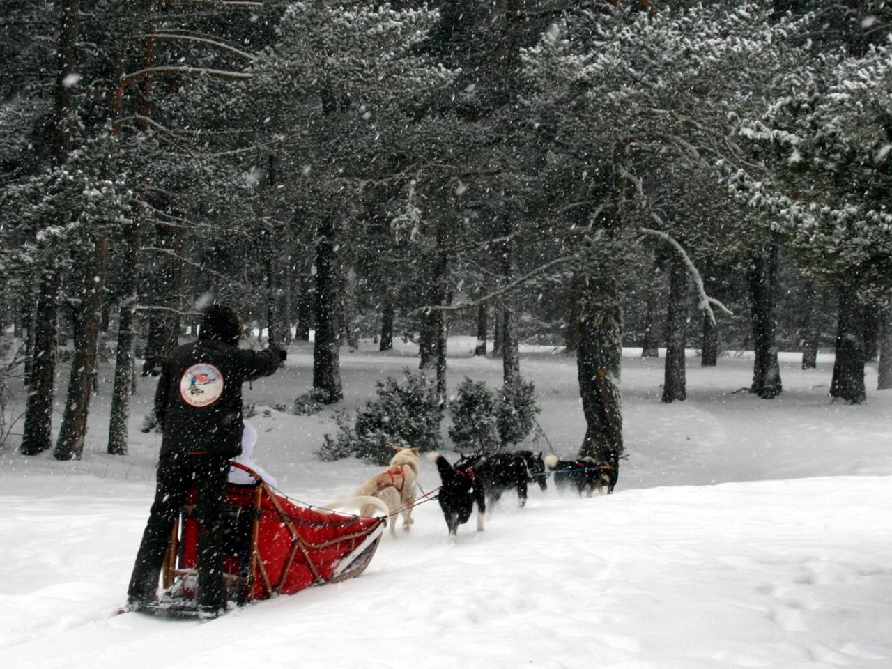 En Capcir  - traineaux à chiens dans la forêt de La Matte