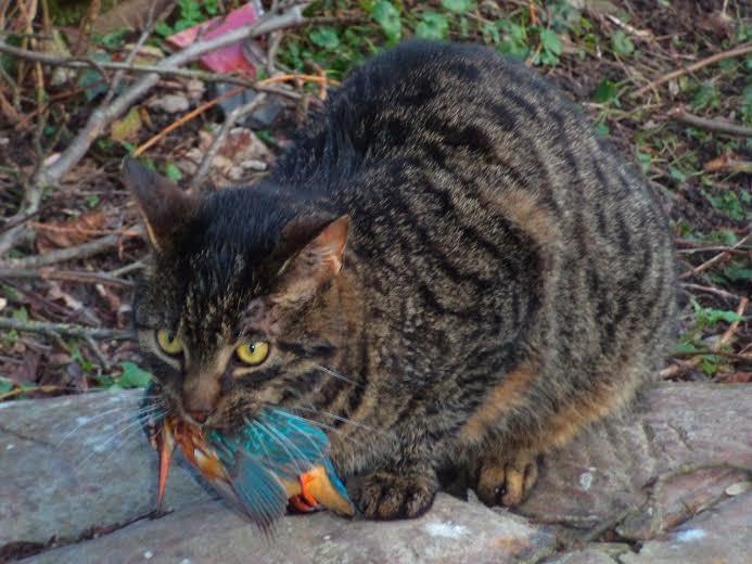 Oeps .....kat Hendrik van het Drijfpaleis heeft een ijsvogel gevangen