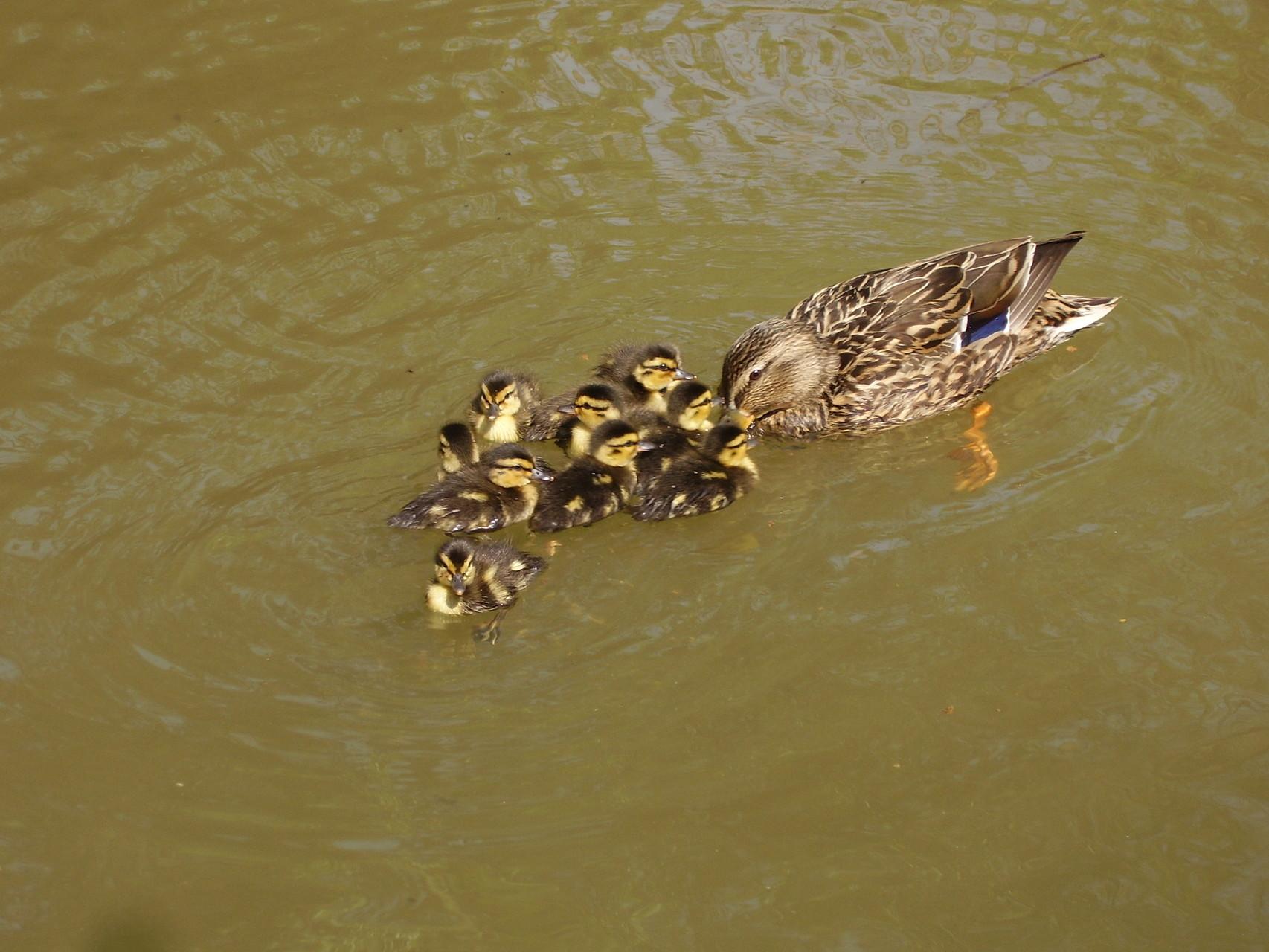 Ohhhh jonge eendjes zwemmend voor het Drijfpaleis.