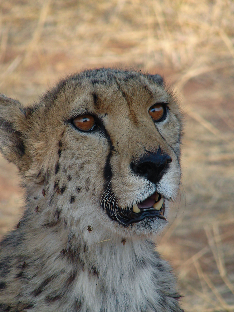Einer der Geparden, die man nicht mehr Auswildern kann. Schön, dürfen sie hier ihren Lebensabend verbringen.