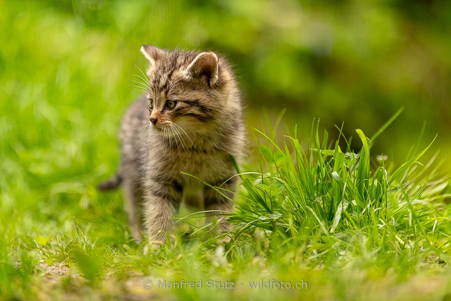 Rehgeiss in einer Blumenwiese am Waldrand im Kanton Aargau aufgenommen, Reh, Capreolus capreolus, 20150423-20150423-CH.2015.004