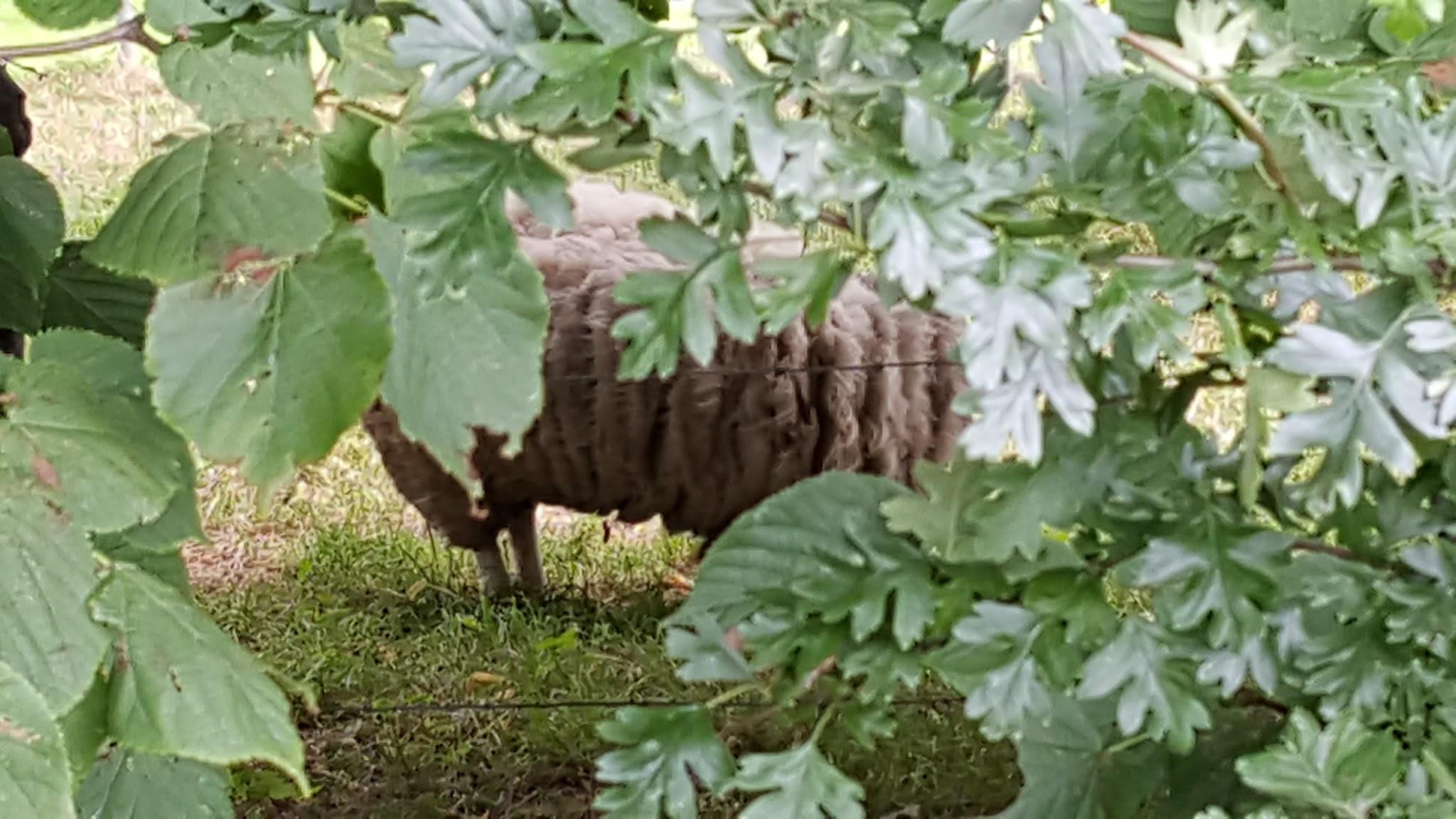 verstecktes -lange nicht ehr beim Friseur gewesenes- Schaf