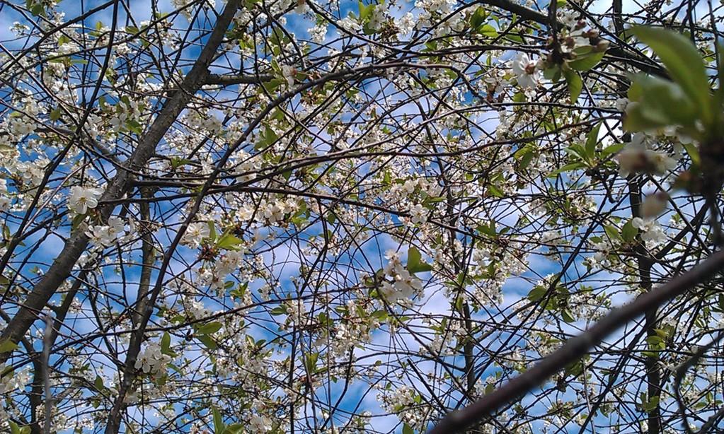 blühendes, duftendes, summendes Blütendach
