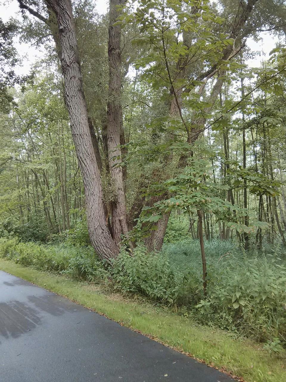 vielstämmiger Baum