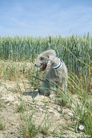 Orphée dans les blés.