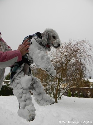 Bedlington des neiges...