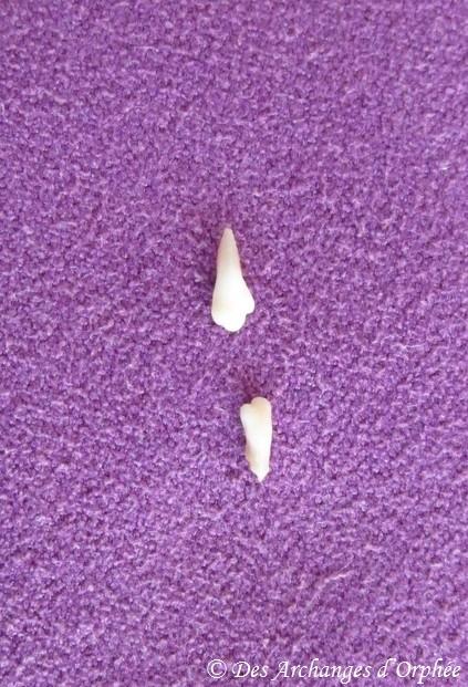 18ème semaine : chute des premières dents de lait.