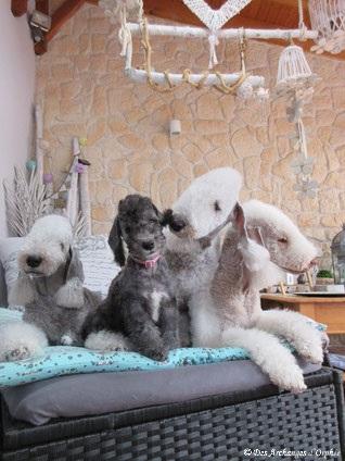 4 Bedlington, 3 générations, 2 Archanges (6 ans et 9 semaines) et une super tatie Tsarine