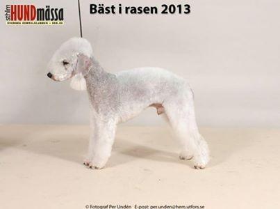 Meilleur Bedlington Suédois 2013