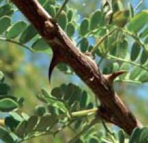 アカシア…アカシアゴムに似た成分が表皮にハリをあたえる。