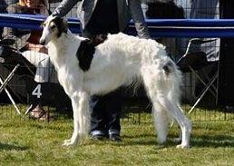 Sablefarbene Barsois..., Windhundrasse BARSOI..., Züchtermitglied im VDH/FCI/DWZRV für die Hunderasse Barsoi und Scottish Deerhound!