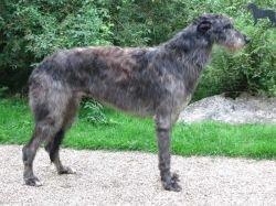 Scottish Deerhounds vom FCI Züchter in Rheinland-Pfalz/Bauler