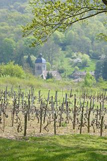 Les vignes avec le clocher de l'église à l'arrière-plan