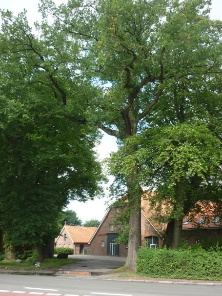 150 bis 200 Jahre alte Eichen vor der Einfahrt zum Nordendorp-Hof.