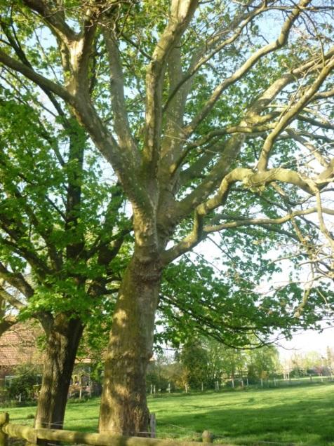 Zwei Bäume mit ähnlichen Blättern an der Landesstraße: links ein Spitzahorn, rechts eine Platane.