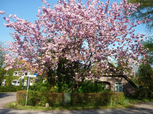 Auch eine japanische Kirsche wächst am Eingang  des Schulpfads – hier in voller Blütenpracht