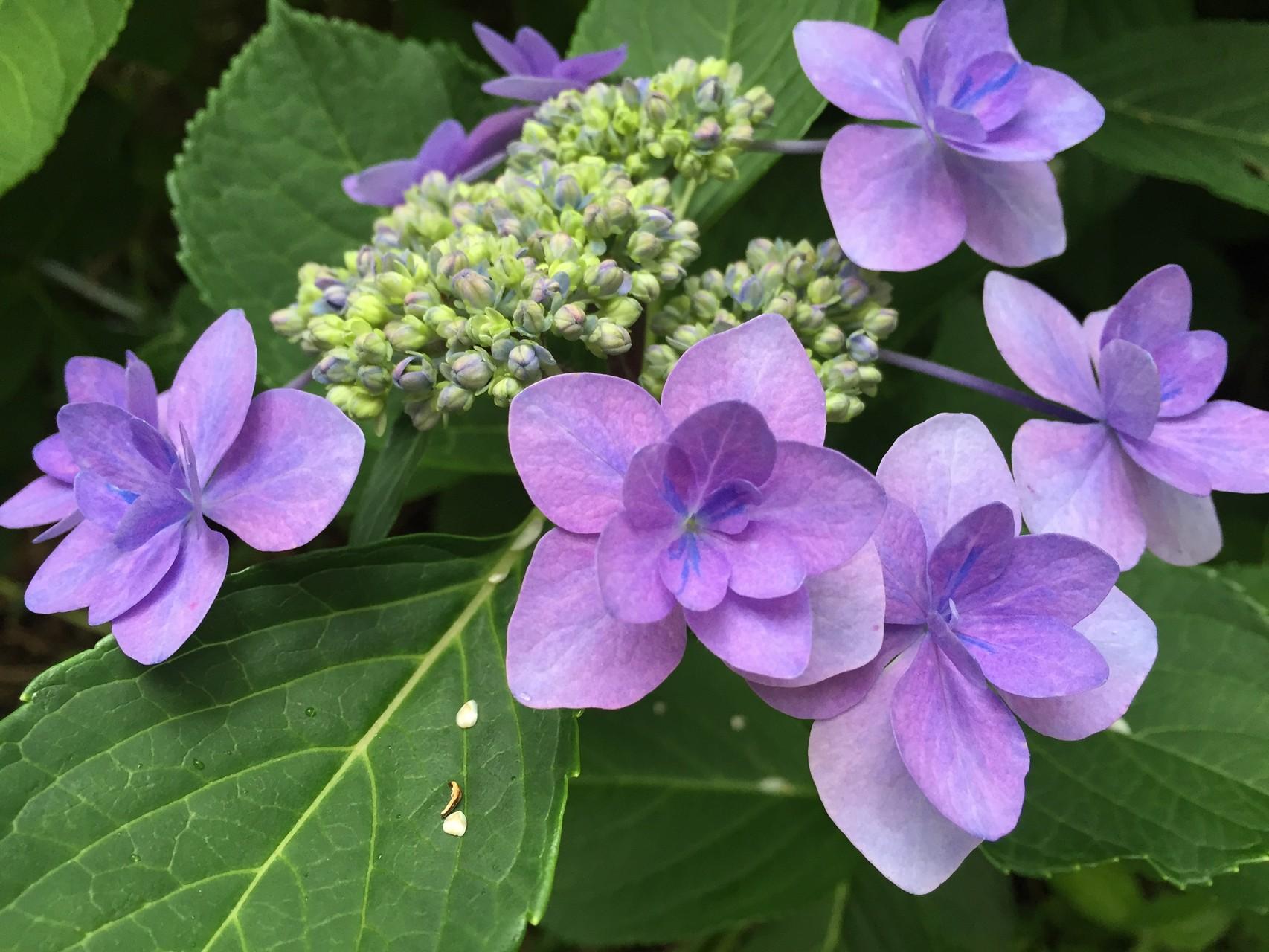 ⑪畑のそばで咲いてた紫陽花
