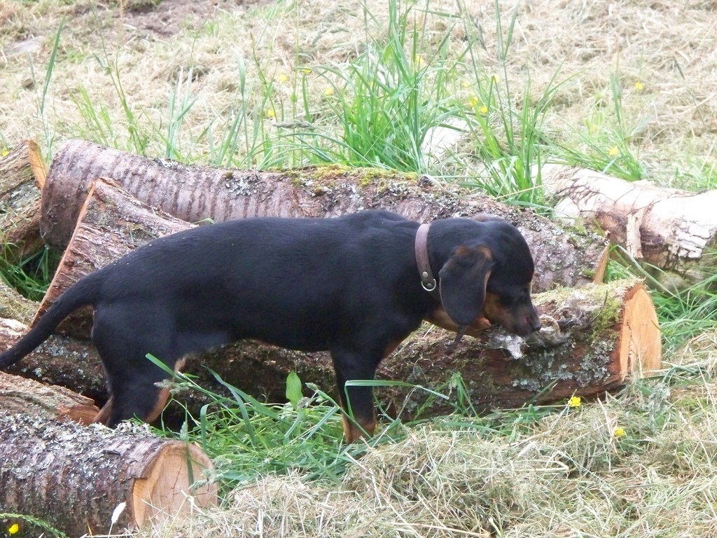 Milli als Junghund