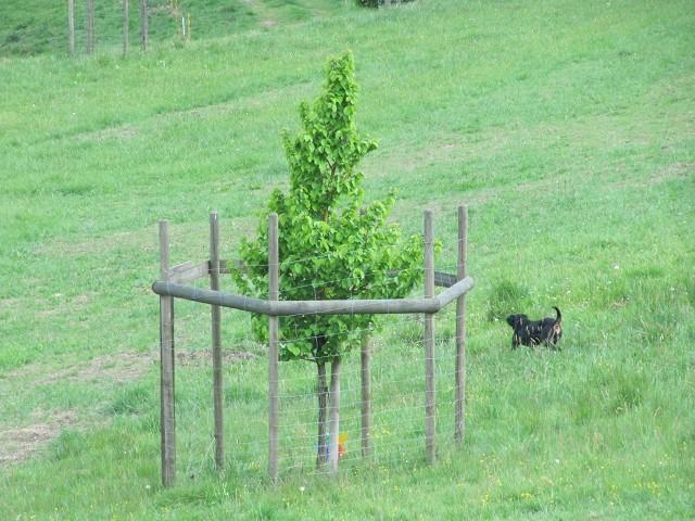 """Der """"Greta Lina- Haselbaum"""" in der Wiese unter dem Forsthaus"""