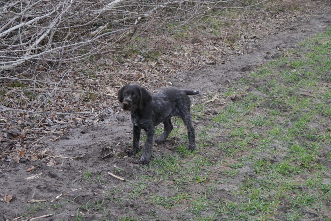 als Junghund im Feld