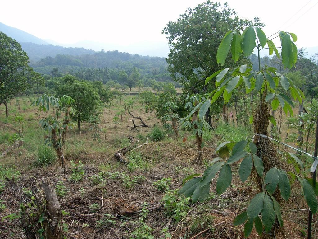 Kautschukbäume finanziert durch unseren Verein als Lebensgrundlage für Farmerfamilien.