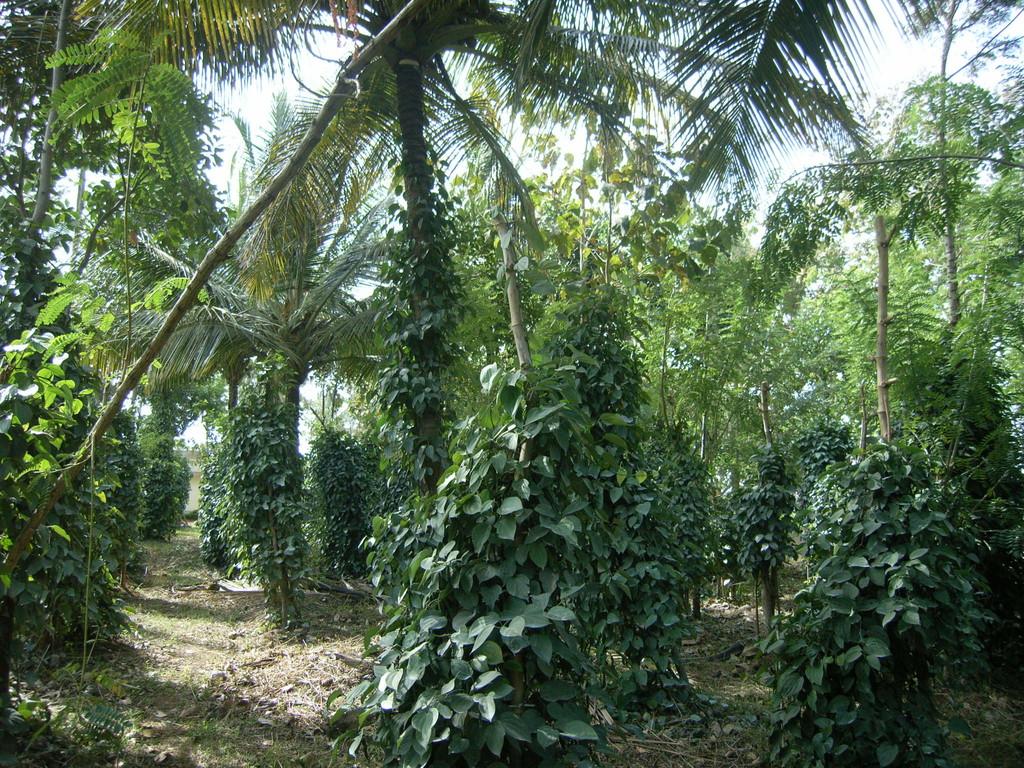 Misch- statt Monokulturen. Pfeffer wächst an Kokospalmen.
