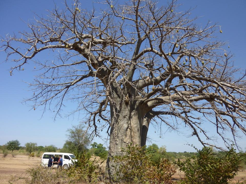 巨大なバオバブの木