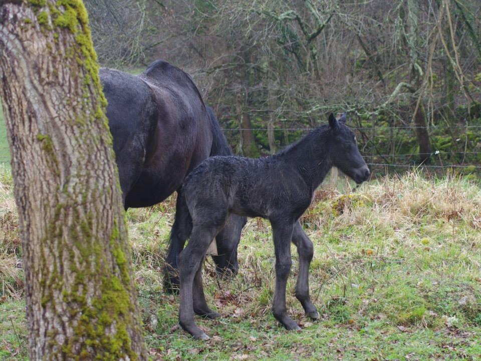 Ferreiro, le fils de Guindoullo, dans nos prairies d'hivernage à Foix.