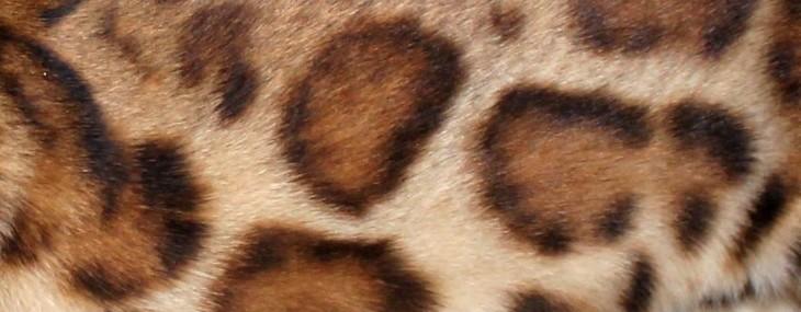 Les Bengal Sur Tout La Motifs Robe Elevage Tribal Et Chat 8wk0XNnOP