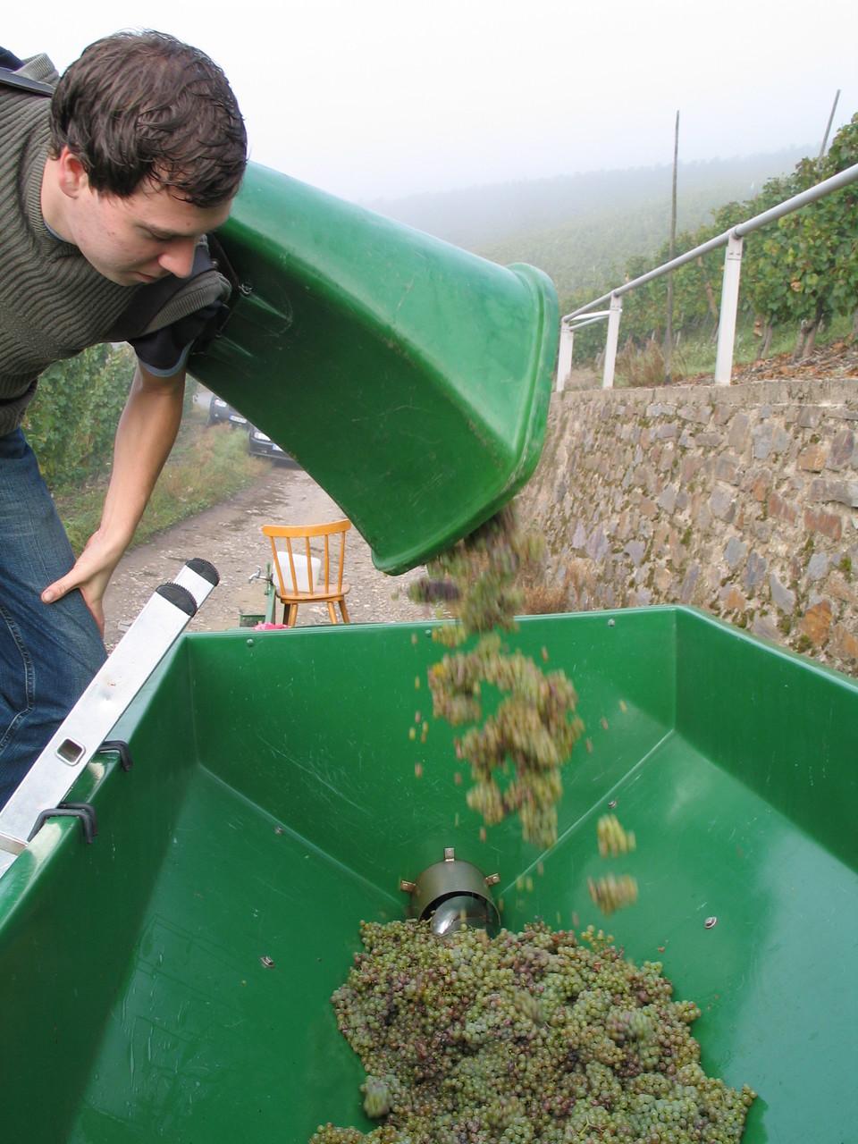 Die Trauben werden in den Erntewagen geschüttet