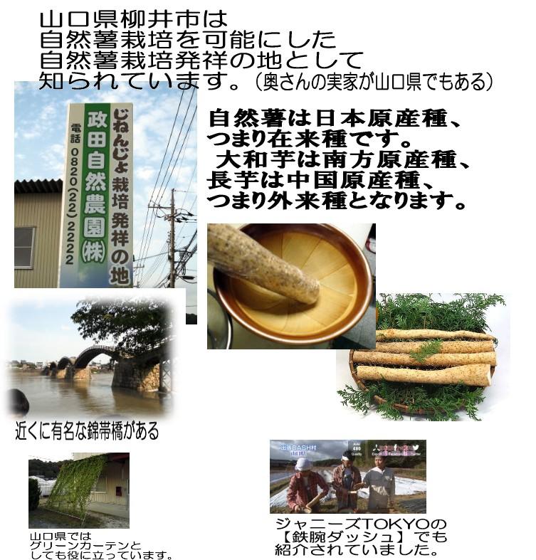 政田自然農園の自然薯種は更新を繰り返し、今では12系統目になります。