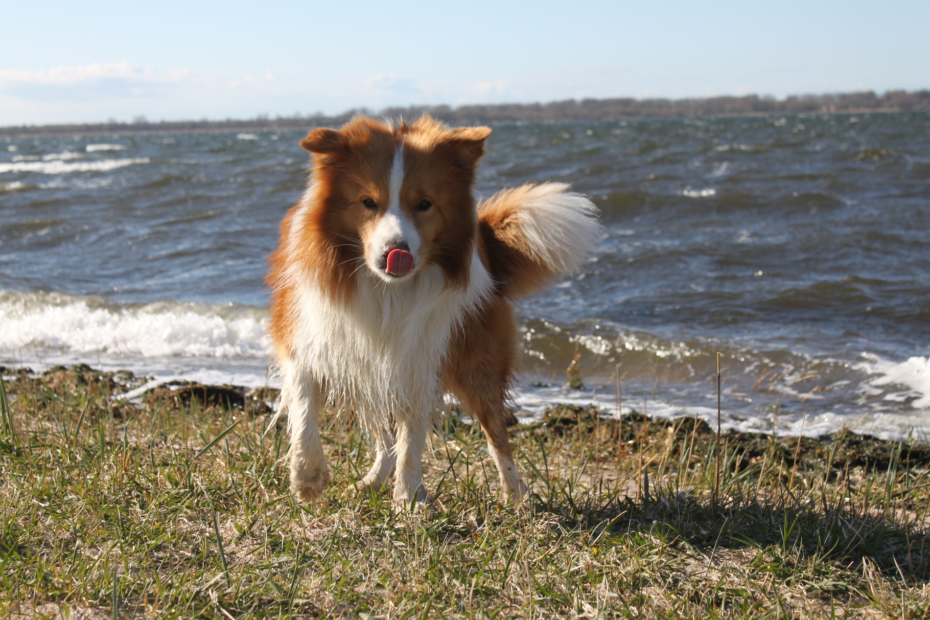 australien-red Border Collie Duke als Clown ;)