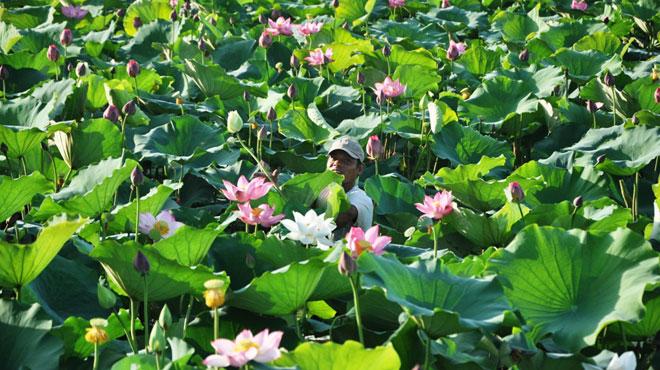 フエの王宮近くにあるティンタム湖(Hồ Tịnh Tâm)は蓮で有名です。