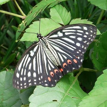 アカボシゴマダラ(エノキ) 外来種