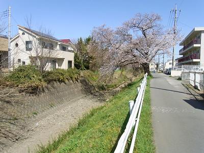 入曽橋下流のサクラ