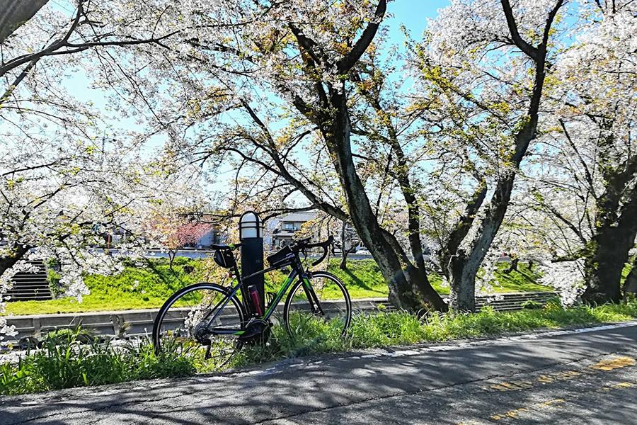 新境川百十郎桜