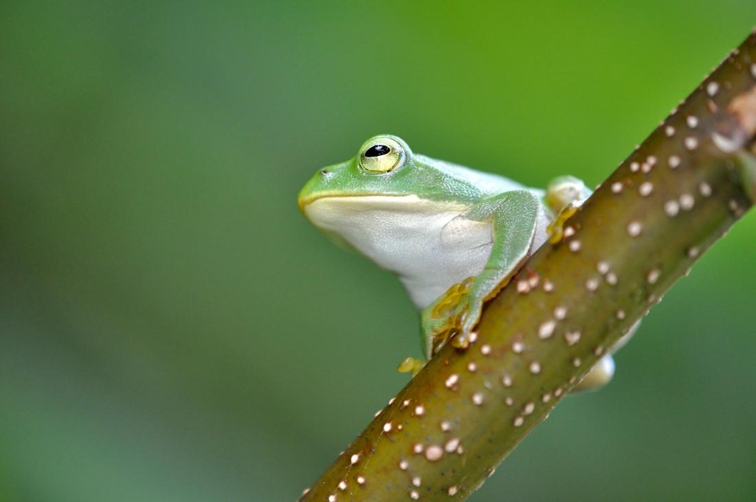 シュレーゲルアオガエル:手に吸盤を持つ緑色のカエル。能登では3月終わり頃から盛んに鳴き始め、夜間だけでなく日中にも活動することが多い。隠れて鳴いていることが多く、鳴き声がしても見つからないことが多い。モリアオガエルに酷似しており、目の虹彩(シュレーゲルは黄色、モリアオは赤)や肌(シュレーゲルは滑らか、モリアオは粗い)で区別可能だが、見分けには少し慣れが必要となる。