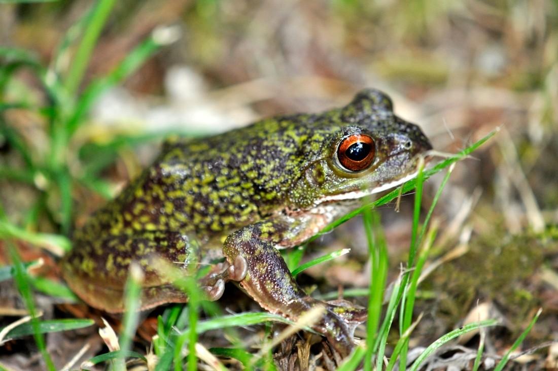 モリアオガエル:斑紋を持つ個体。地域差もあると言われる。石川県では、緑色の個体に混じってたまに斑紋を持つ個体も見られる。